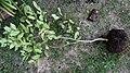 Lemon tree with phytophtora 01.jpg