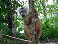 Lemur Fulvus.jpg