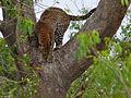 Leopard (Panthera pardus) (18011434360).jpg