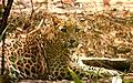 Leopard Alert (33100345).jpeg