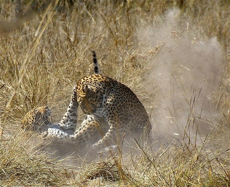 800px-Leopard_Mating_Dance dans PANTHERE - LEOPARD