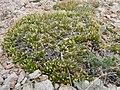 Leptodactylon caespitosum — Matt Lavin 002.jpg