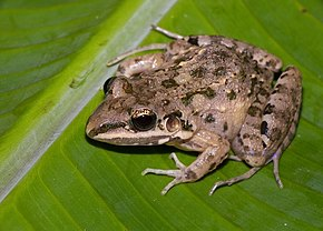 Description de l'image Leptodactylus fragilis01.jpg.
