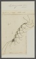 Leptomera pedata - - Print - Iconographia Zoologica - Special Collections University of Amsterdam - UBAINV0274 098 05 0010.tif