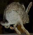 Lepus californicus 3zz.jpg