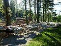Les moutons.jpg