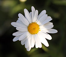 Leucanthemum vulgare close up.jpg