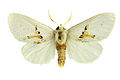 Leucodonta bicoloria SLU.jpg