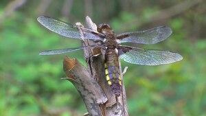 File:Libellula depressa female, Wollenberg.ogv