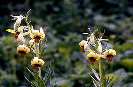 Lilium ciliatum