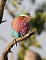 Lilac-breasted Roller, Coracias caudatus at at Mapungubwe National Park, Limpopo, South Africa (18032695901).jpg