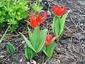 Liliales - Tulipa cultivars - 6.jpg