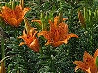 Lilium maculatum flower