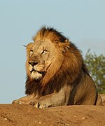 Lion (Panthera leo) male 6y.jpg