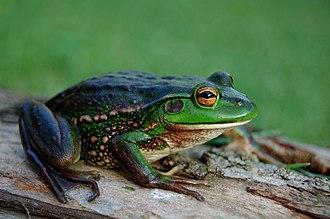 Growling grass frog - Image: Litoria raniformis A