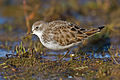Little-Stint.jpg