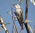 Little Bronze Cuckoo male Kobble.jpg