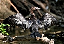 Little Cormorant-Drying its wings I IMG 7981.jpg
