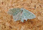 Little Emerald. Jodis lactearia (23955810616).jpg