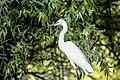 Little egret delta.jpg