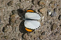 Little orange tip hingolgadh.jpg