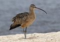 Long-billed curlew, Numenius americanus, Moss Landing (Elkhorn Slough and beach), California, USA. (22775405918).jpg