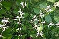 Lonicera maackii - Arnold Arboretum - DSC06801.JPG