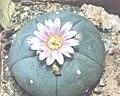 Lophophora williamsii v. texensis.jpg