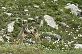Lotta tra marmotte.jpg