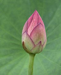 すべての講義 慣用句 とは : 蓮 の花の蕾