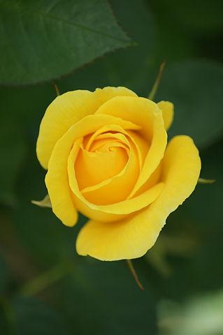 El significado de regalar rosas amarillas