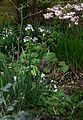 Lunaria rediviva - Flickr - peganum (1).jpg