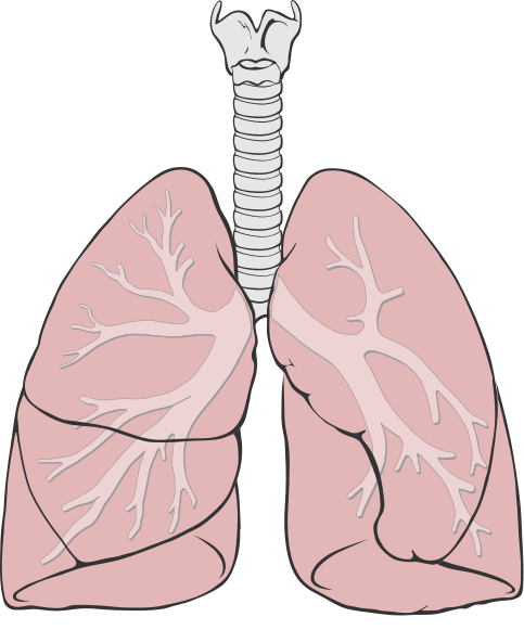 Lungs diagram simple.svg