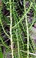 Lycopodiella lateralis - West Head NSW.JPG