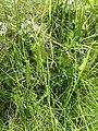 Lycopodium clavatum ssp. clavatum.jpg