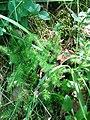Lycopodium clavatum ssp. clavatum 2.jpg