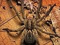 Lycosa erythrognatha female dorsal.jpg