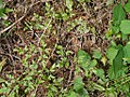 Lygodium japonicum kanikusa23.jpg