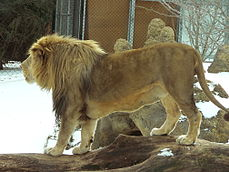 MP-panthera leo krugeri 8.jpg