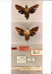 Macroglossum buini holotype (Papua New Guinea, Bougainville, Buin) (CMNH).jpg