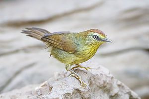 Macronus - Pin-striped tit-babbler, (Macronus gularis)