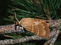 Macrothylacia rubi ♂ - Fox moth (male) - Коконопряд малинный (самец) (39195121090).jpg