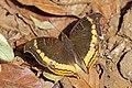 Madagascar commodore butterfly (Precis eurodoce).jpg