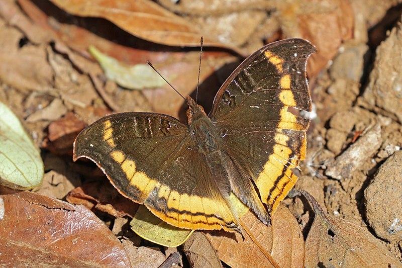 Bộ sưu tập cánh vẩy 6 - Page 19 800px-Madagascar_commodore_butterfly_%28Precis_eurodoce%29