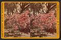 Magnolia-on-the-Ashley, by F. A. Nowell 2.jpg