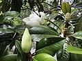 Magnolia (50722720118).jpg