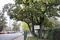 Magnolia historica 353.jpg