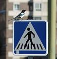 Magpie in Madrid (Spain) 39.jpg
