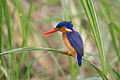 Malachite kingfisher - Queen Elizabeth National Park, Uganda (3).jpg