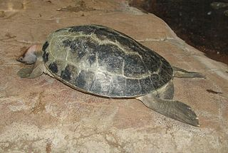 Painted terrapin species of turtle